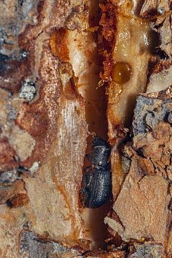 Mountain Pine Beetle (Dendroctonus ponderosae) in tunnel under bark, Colorado