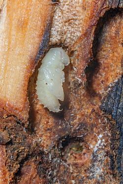 Mountain Pine Beetle (Dendroctonus ponderosae) pupa in Lodgepole Pine (Pinus contorta), Wyoming