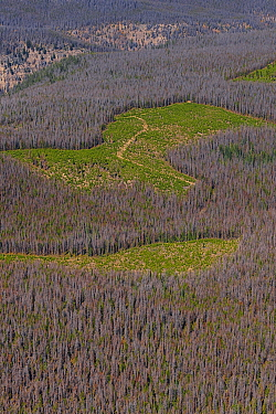 Mountain Pine Beetle (Dendroctonus ponderosae) killed Lodgepole Pine (Pinus contorta) forest, Colorado