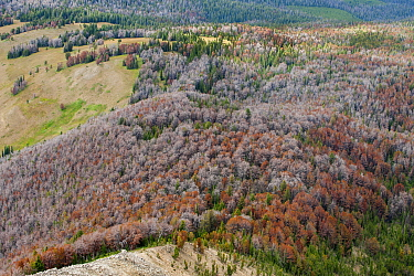 Mountain Pine Beetle (Dendroctonus ponderosae) killed Whitebark Pine (Pinus albicaulis) trees, Bridger-Bridger-Teton National Forest, Wyoming