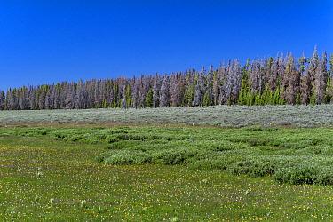 Mountain Pine Beetle (Dendroctonus ponderosae) killed Whitebark Pine (Pinus albicaulis) trees, Bridger-Teton National Forest, Wyoming