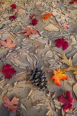 Bigtooth Maple (Acer grandidentatum) leaves on dried mud, Zion National Park, Utah