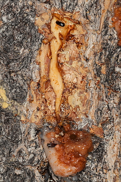 Mountain Pine Beetle (Dendroctonus ponderosae) pair killed by resin, Colorado