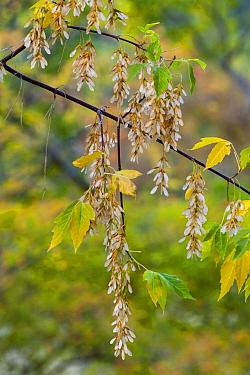 Boxelder (Acer negundo) seeds, Zion National Park, Utah