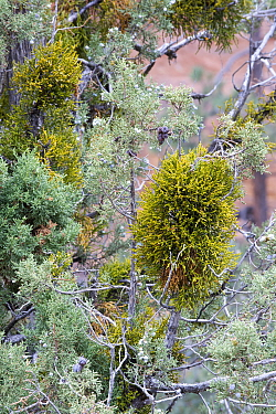 Juniper (Juniperus sp) with mistletoe, Zion National Park, Utah