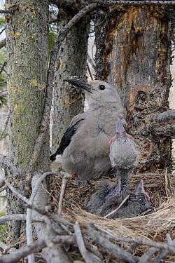 Clark's Nutcracker (Nucifraga columbiana) parent at nest with chicks, Wyoming