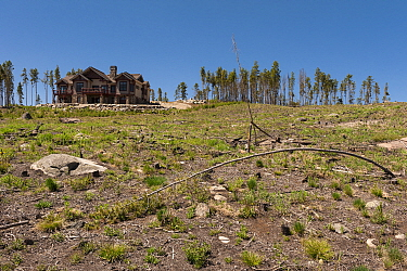 Mountain Pine Beetle (Dendroctonus ponderosae) area, killed trees have been removed, Colorado