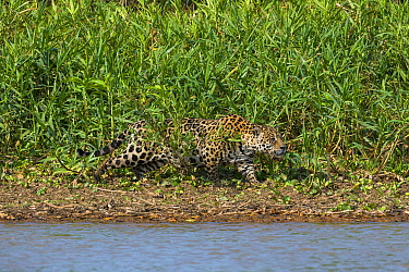 Jaguar (Panthera onca) stalking, Cuiaba River, Pantanal Matogrossense National Park, Brazil