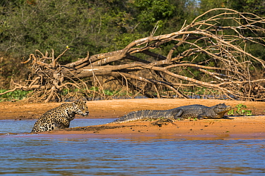 Jaguar (Panthera onca) predating on Spectacled Caiman (Caiman crocodilus), Cuiaba River, Pantanal Matogrossense National Park, Brazil, sequence 2 of 7