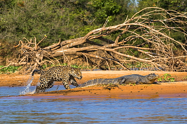 Jaguar (Panthera onca) predating on Spectacled Caiman (Caiman crocodilus), Cuiaba River, Pantanal Matogrossense National Park, Brazil, sequence 3 of 7