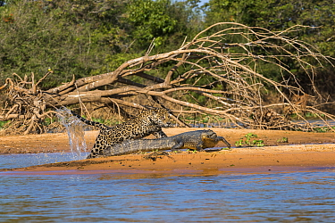 Jaguar (Panthera onca) predating on Spectacled Caiman (Caiman crocodilus), Cuiaba River, Pantanal Matogrossense National Park, Brazil, sequence 4 of 7
