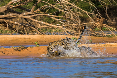 Jaguar (Panthera onca) predating on Spectacled Caiman (Caiman crocodilus), Cuiaba River, Pantanal Matogrossense National Park, Brazil, sequence 5 of 7