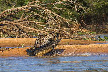 Jaguar (Panthera onca) predating on Spectacled Caiman (Caiman crocodilus), Cuiaba River, Pantanal Matogrossense National Park, Brazil, sequence 6 of 7