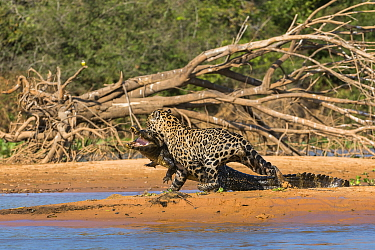 Jaguar (Panthera onca) predating on Spectacled Caiman (Caiman crocodilus), Cuiaba River, Pantanal Matogrossense National Park, Brazil, sequence 7 of 7
