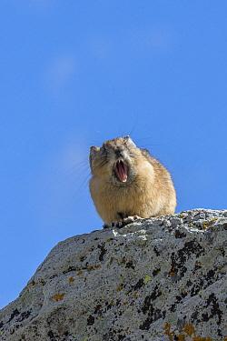 American Pika (Ochotona princeps) yawning, Yankee Boy Basin, Uncompahgre National Forest, Colorado