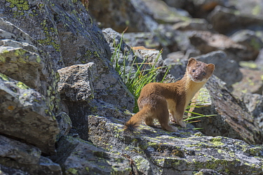 Long-tailed Weasel (Mustela frenata) in talus slope, Colorado