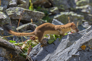 Long-tailed Weasel (Mustela frenata) in talus slope, Colorado