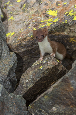 Short-tailed Weasel (Mustela erminea) in talus slope, Colorado