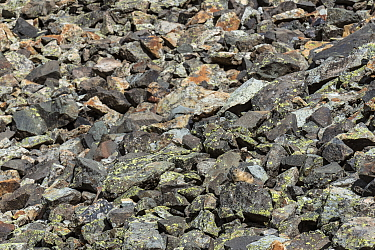 American Pika (Ochotona princeps) camouflaged in talus slope, Yankee Boy Basin, Uncompahgre National Forest, Colorado