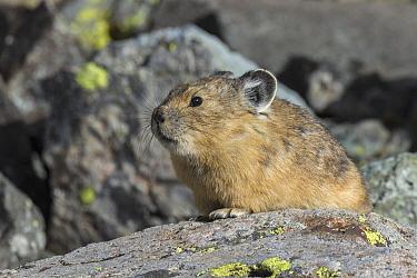 American Pika (Ochotona princeps), Yankee Boy Basin, Uncompahgre National Forest, Colorado