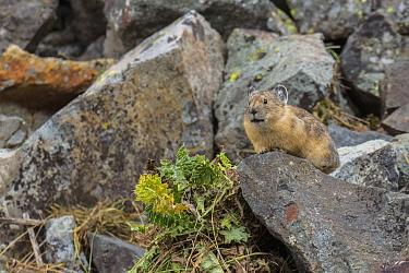 American Pika (Ochotona princeps) in talus slope with vegetation cache, Yankee Boy Basin, Uncompahgre National Forest, Colorado