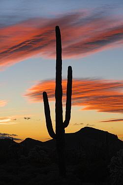 Saguaro (Carnegiea gigantea) cactus at sunset, Organ Pipe Cactus National Monument, Arizona