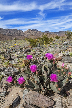 Beavertail Cactus (Opuntia basilaris) flowering, Death Valley National Park, California