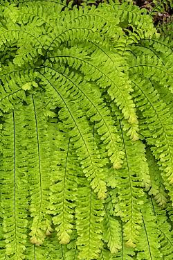 American Maidenhair (Adiantum pedatum) fern, Redwood National Park, California
