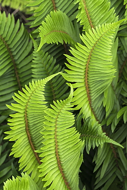 Sword Fern (Polystichum munitum), Redwood National Park, California