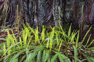Christmas Fern (Polystichum sp) new growth, Redwood National Park, California