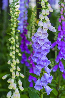 Purple Foxglove (Digitalis purpurea) flowering, Redwood National Park, California