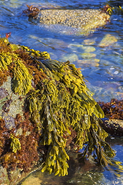 Rockweed (Fucus sp), Harris Beach State Park, Oregon