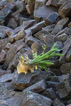 American Pika (Ochotona princeps) collecting vegetation, Bridger-Teton National Forest, Wyoming