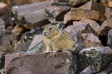 American Pika (Ochotona princeps), Bridger-Teton National Forest, Wyoming