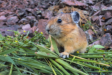 American Pika (Ochotona princeps) at hay pile, Bridger-Teton National Forest, Wyoming