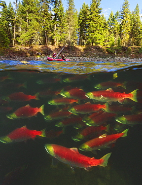 Sockeye Salmon (Oncorhynchus nerka) group migrating upstream with zodiac above, Adams River, Roderick Haig-Brown Provincial Park, British Columbia, Canada