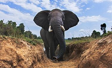 African Elephant (Loxodonta africana) female climbing gully, Masai Mara, Kenya