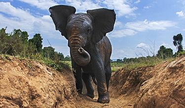 African Elephant (Loxodonta africana) calf climbing gully, Masai Mara, Kenya