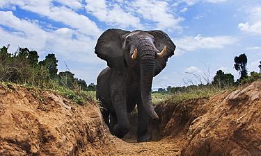 African Elephant (Loxodonta africana) climbing gully, Masai Mara, Kenya
