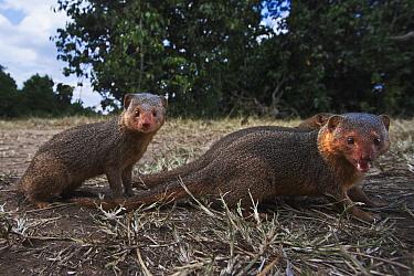 Dwarf Mongoose (Helogale parvula) pair, Masai Mara, Kenya
