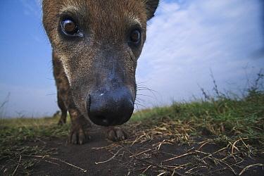 Spotted Hyena (Crocuta crocuta) juvenile investigating, Masai Mara, Kenya