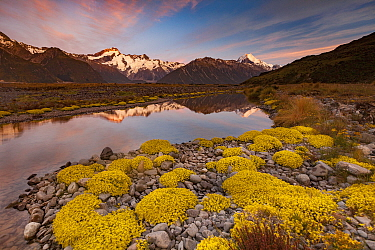 Forget-me-not (Myosotis sp) flowers and high clouds at dawn with Mt. Sefton (left) and Aoraki reflected in the Tasman River Valley, Mount Cook National Park, South Island, New Zealand