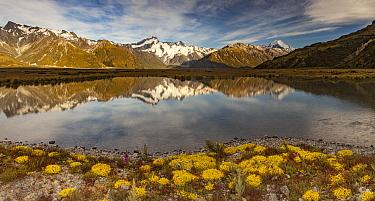 Forget-me-not (Myosotis sp) flowers,Mount Sefton (left) and Aoraki reflected in Tasman River Valley, Mount Cook National Park, South Island, New Zealand