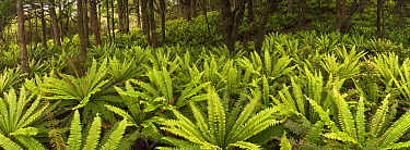 Crown Fern (Blechnum discolor) group on floor of podocarp forest, Rakeahua, Stewart Island, New Zealand