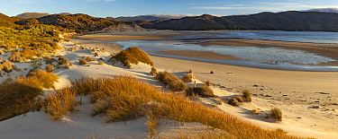 Pingao Grass (Desmoschoenus spiralis) on sand dunes, Doughboy Bay, Rakiura National Park, Stewart Island, New Zealand