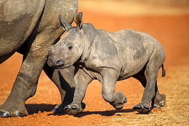 White Rhinoceros (Ceratotherium simum) mother and calf, Rietvlei Nature Reserve, South Africa