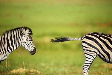 Burchell's Zebra (Equus burchellii) stallion chasing rival, Rietvlei Nature Reserve, South Africa