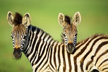Burchell's Zebra (Equus burchellii) foals, Rietvlei Nature Reserve, South Africa