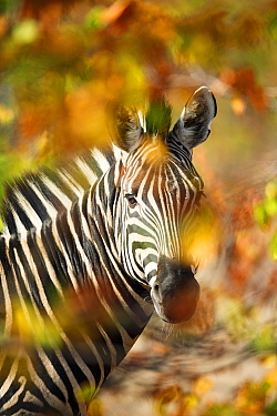 Burchell's Zebra (Equus burchellii), Kruger National Park, South Africa