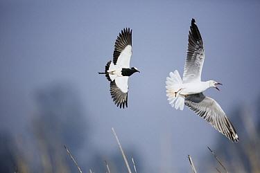 Blacksmith Lapwing (Vanellus armatus) chasing Grey-headed Gull (Larus cirrocephalus), Marievale Bird Sanctuary, South Africa